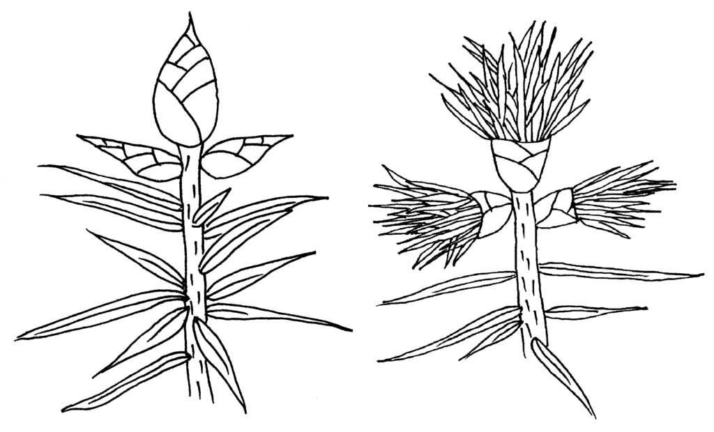 illustration of a terminal buds bursting to allow new growth emerge