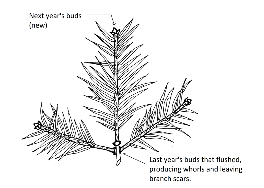 illustration showing one year's production of needles on a branch