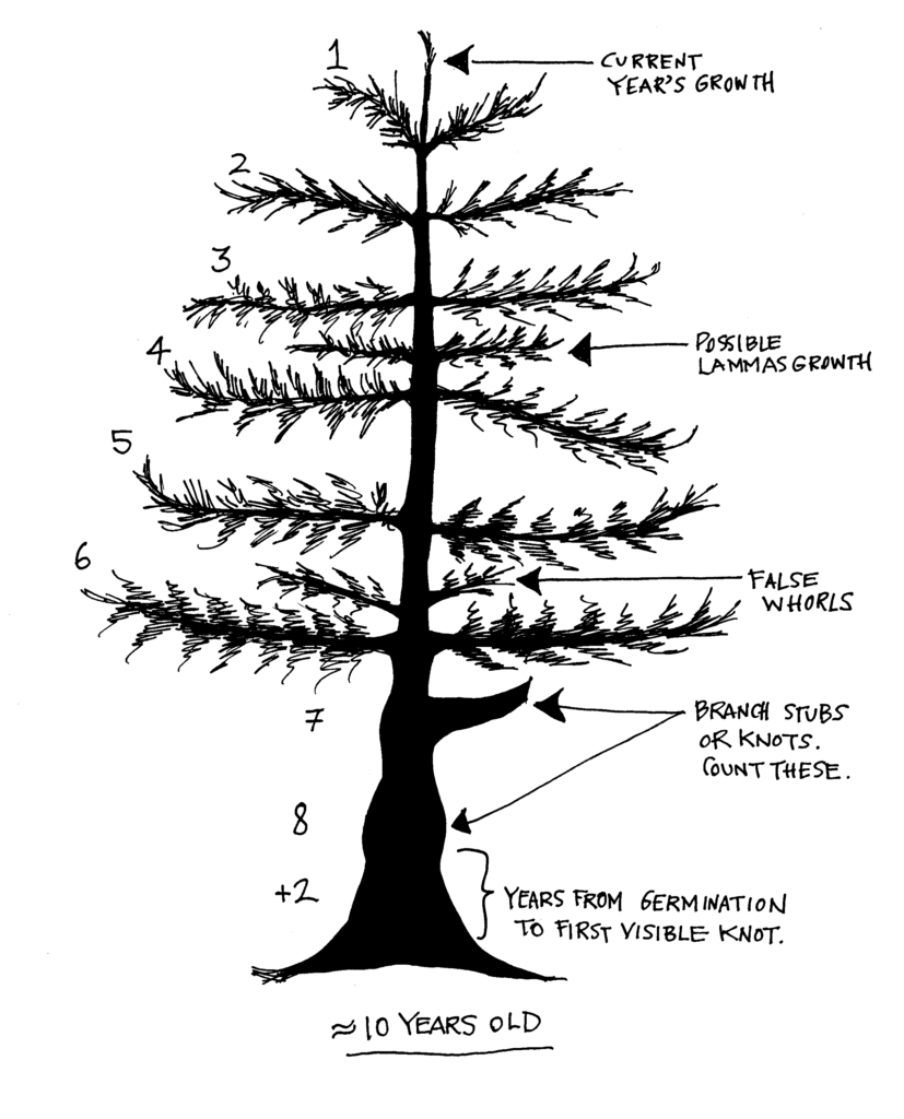 A grphaic showing a young tree with 6 discernible whorls og branches, two years of knots from old branches and two years estimated to visible branches for a total of 10 years