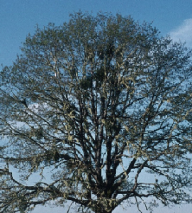 photo of oak crown