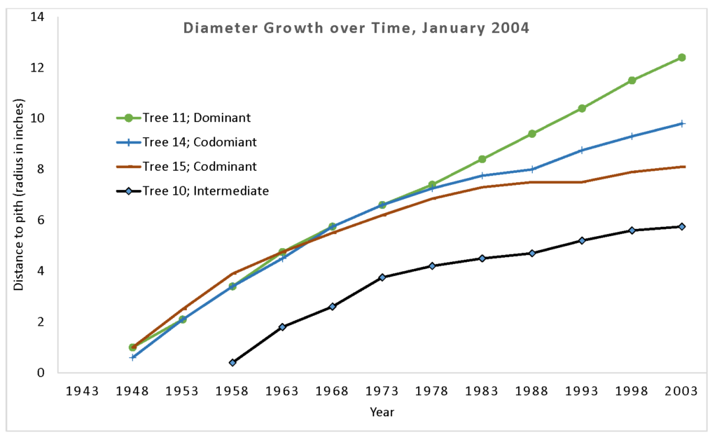 graph of four trees' diameter over time; one domianant tree shows fast gorwth from its beginning. Two codominant trees start off fast, but slow down mid-age. An intermediate tree has slower rates and also shows a younger age at dbh