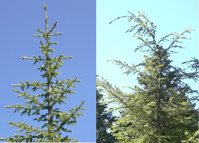 Photo of fir top and hemlock top
