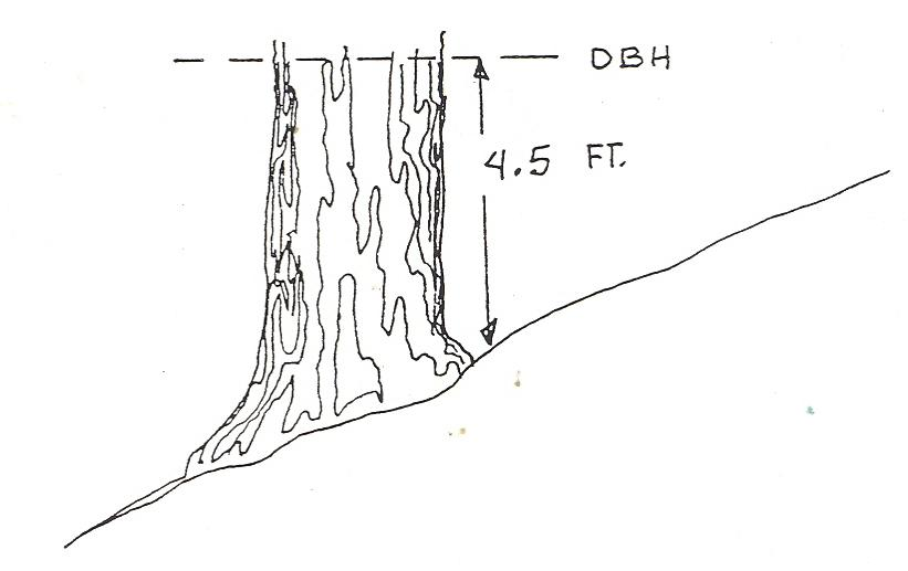 graphic showing 4.5 feet above the ground on the uphill side of a tree