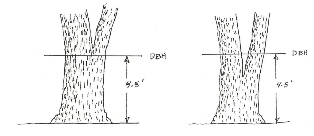 graphic showing forking above and below dbh