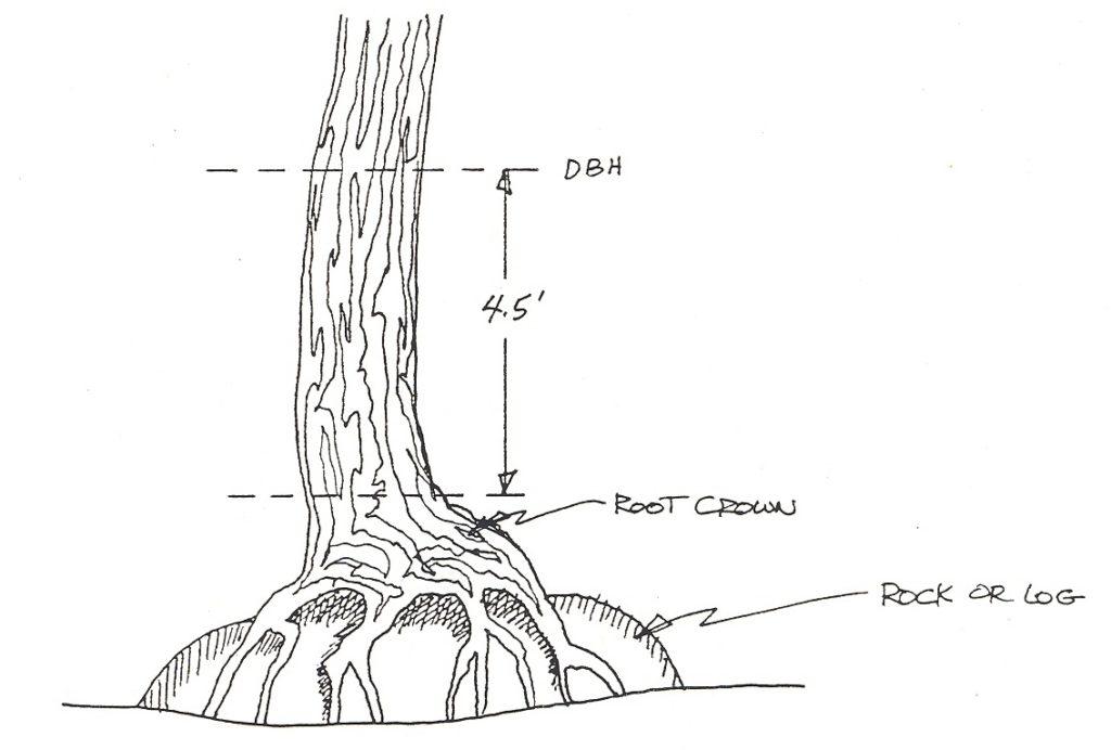 3 2 determining tree diameter forest measurements an applied approach