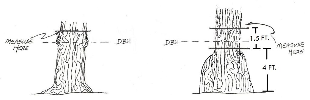 graphic showing branches at dbh; measurement point is directly above them. Graphic on right shows an enlarged stump with a measuring point 1.5 feet above the swelling