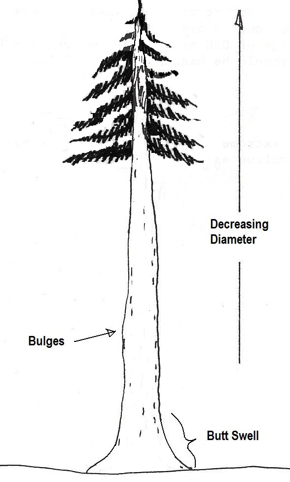A tree showing large diameters at the base of a tree, swellings mid-height, and small diameters at the top of a tree.