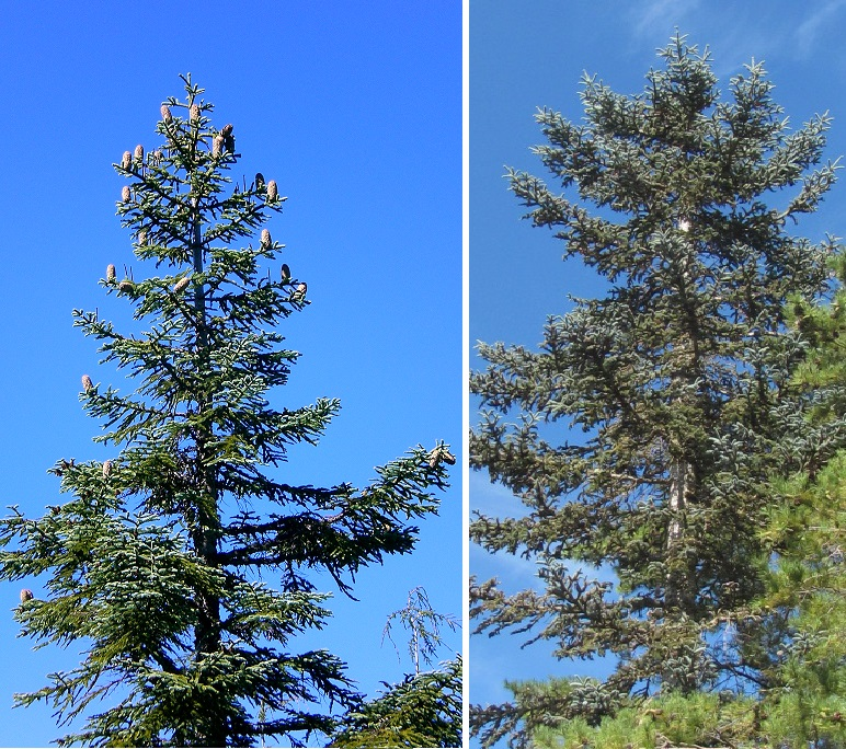left photo a tree with a clear view of tree top; right photo a tree where only side branches are visible.