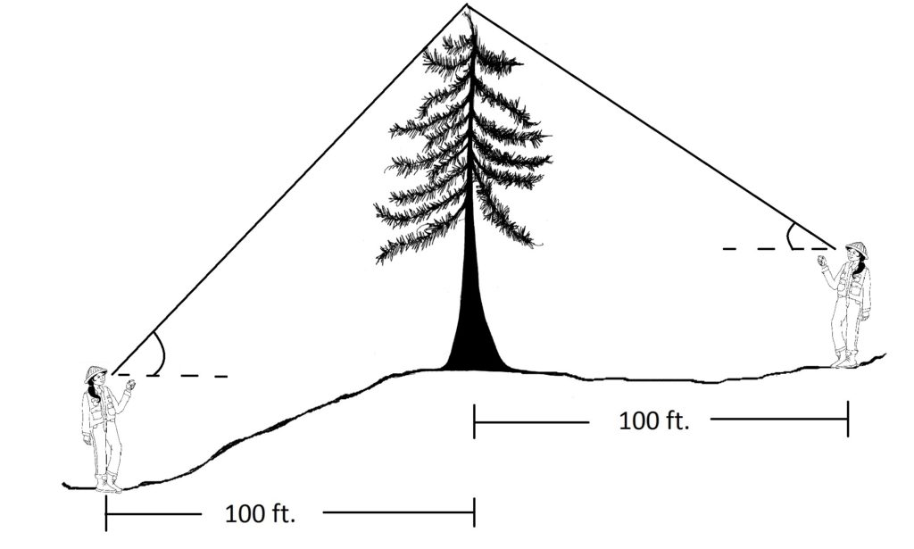 Graphic showing technician measuring downhill from a tree and getting a very steep angle on the clinometer.