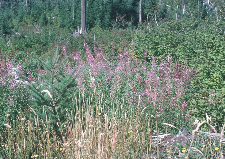 photo of tree seedling in an open clearcut with heavy cover of grasses, shrubs and herbs