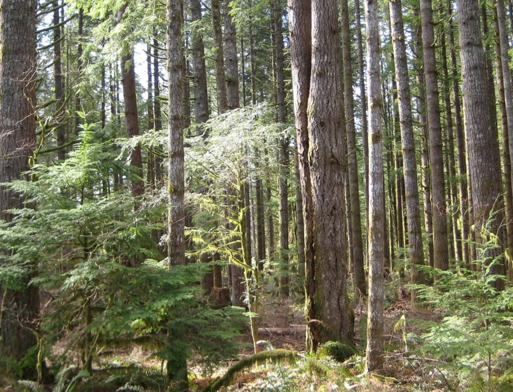 photo of forest with hemlock saplings in understory of mid-sized trees