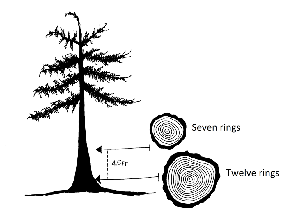 Graphic with two tree rounds; one cut from stump height showing 12 annual rings; one cut from 4.5 feet above the ground showing 7 annual rings