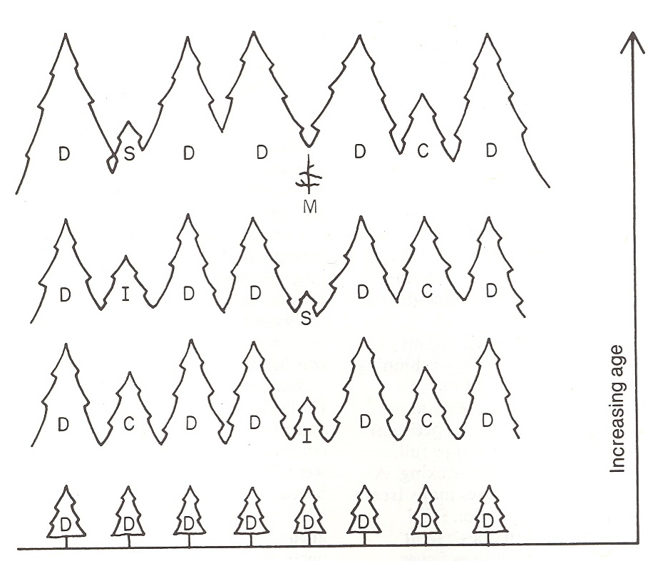 grpahic showing how trees may start as domianant trees. As they get larger with age and require more space, some become codominant and eventually intermediate or suppressed