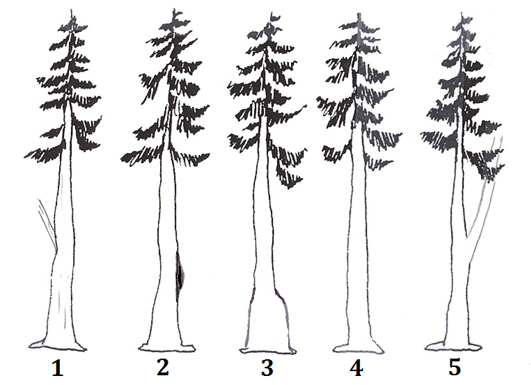 Tree one has a sucker limb on the main trunk. Tree two has a burl on the trunk. Tree 3 has a swollen butt. Tree four has no visible defect. Tree 5 has a fork.