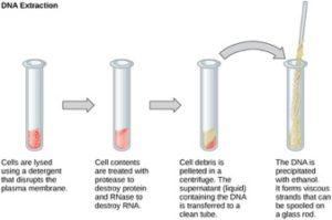 DNA extraction procedure
