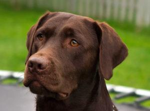 11a.Labrador_Retriever_chocolate_Hershey_sit_(cropped)