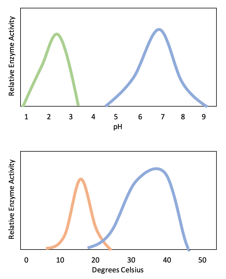 graphs showing effect of temperature and pH on amylase. each graph has a bell-curve shape above the optimum pH