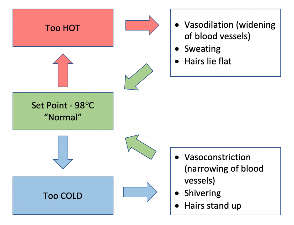 "flow chart illustrating body temperature regulation. Set point - 98 degrees = ""Normal"". Red arrow pointing up to Too hot. Red arrow pointing right to bulleted list: vasodilation (widening of blood vessels), sweating, hairs lie flat. Green arrow pointing back to Set Point box. Blue arrow pointing down to Too Cold in blue box. Blue arrow pointing right to bulletted list: vasoconstriction (narrowing of blood vessels, shivering, hairs stand up. Green arrow pointing diagonally back to green set point box."