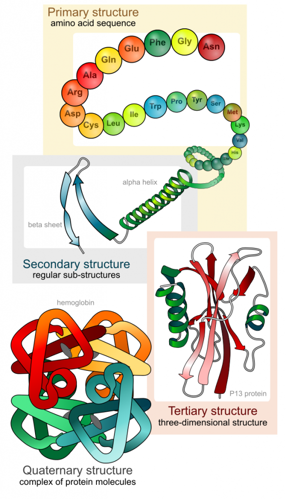 protein structure levels: primary structure is represented as colored balls labeled with names of amino acids connected together in a chain. Secondary structure shows a green spiral alpha helix and two blue anti-parallel arrows representing beta sheets. In Tertiary structure, a complex 3-dimensional shape containing alpha helices and beta pleated sheets is shown. Tertiary structure shows 4 complex 3-D squiggles of different colors interacting together.