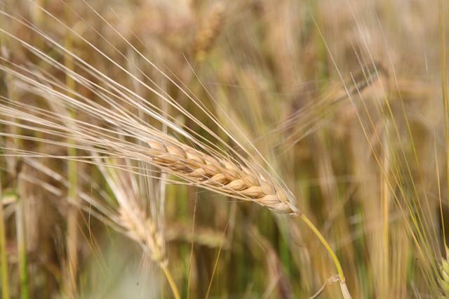 Wheat growing in a field.