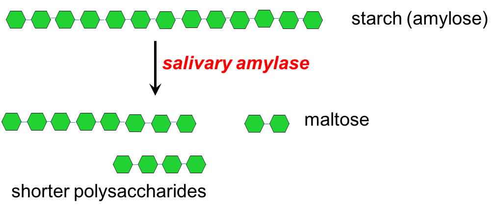 Illustration showing that the enzyme salivary amylase breaks starch into smaller polysaccharides and maltose. The image shows a long chain of starch (shown as green hexagons) that is then broken into shorter lengths, including maltose, by salivary amylase.