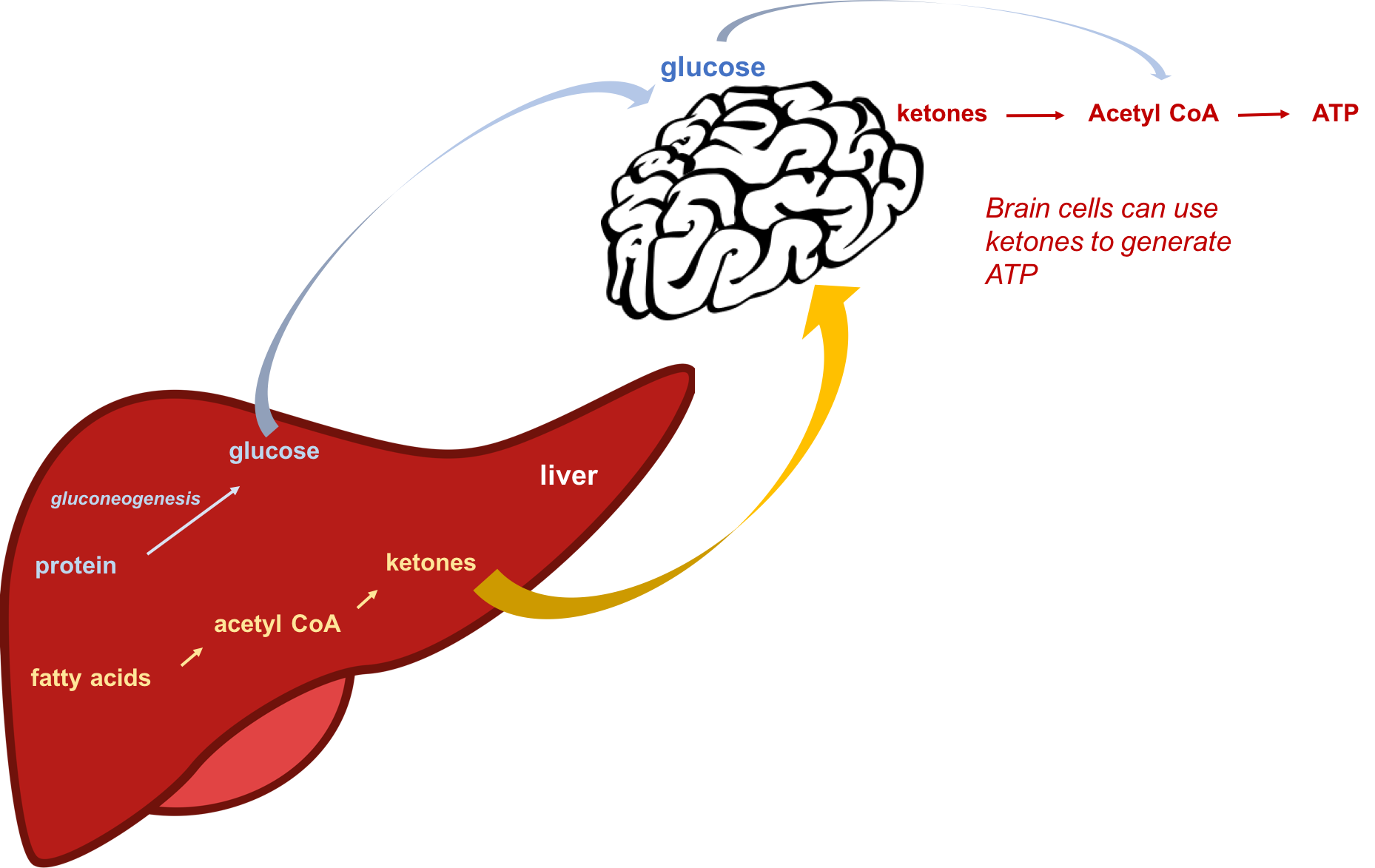 Schematic showing that during starvation or when consuming a low-carbohydrate diet, protein (amino acids) can be used to make glucose by gluconeogenesis, and fats can be used to make ketones in the liver. The brain can adapt to using ketones as an energy source in order to conserve protein and prevent muscle wasting.