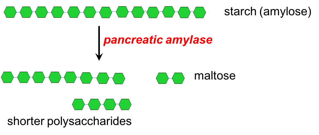 Illustration showing that the enzyme pancreatic amylase breaks starch into smaller polysaccharides and maltose. The image shows a long chain of starch (shown as green hexagons) that is then broken into shorter lengths, including maltose, by pancreatic amylase.