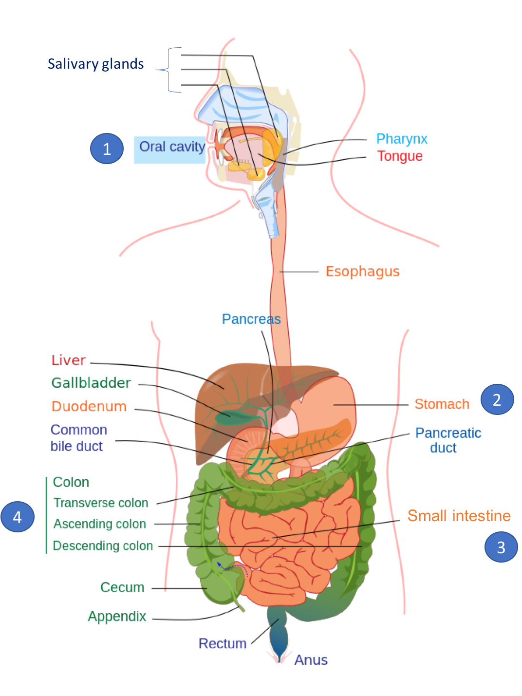 Illustration of the digestive system, with major sites of digestion numbered: oral cavity (1); stomach (2); small intestine (3); and large intestine or colon (4).