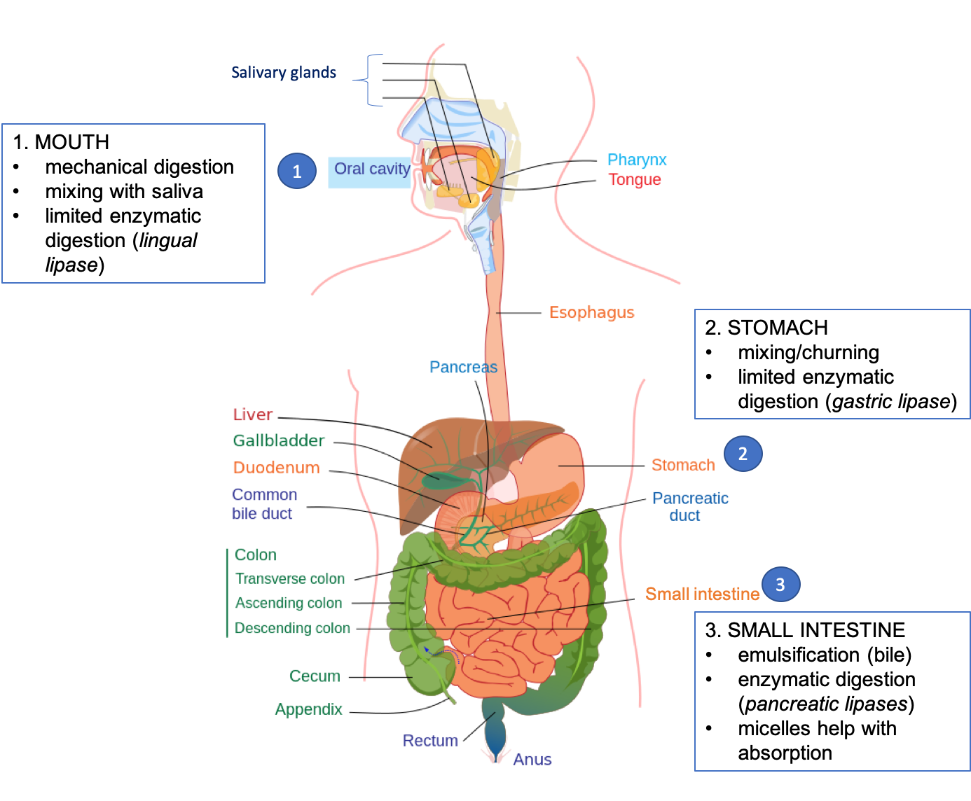 Cartoon diagram showing the organs of the gastrointestinal tract and the steps of lipid digestion that occur in each organ. In the mouth: mechanical digestion, mixing with saliva, and limited enzymatic digestion (lingual lipase). In the stomach: mixing/churning, limited enzymatic digestion (gastric lipase). In the small intestine: emulsification (bile), enzymatic digestion (pancreatic lipases), micelles help with absorption.