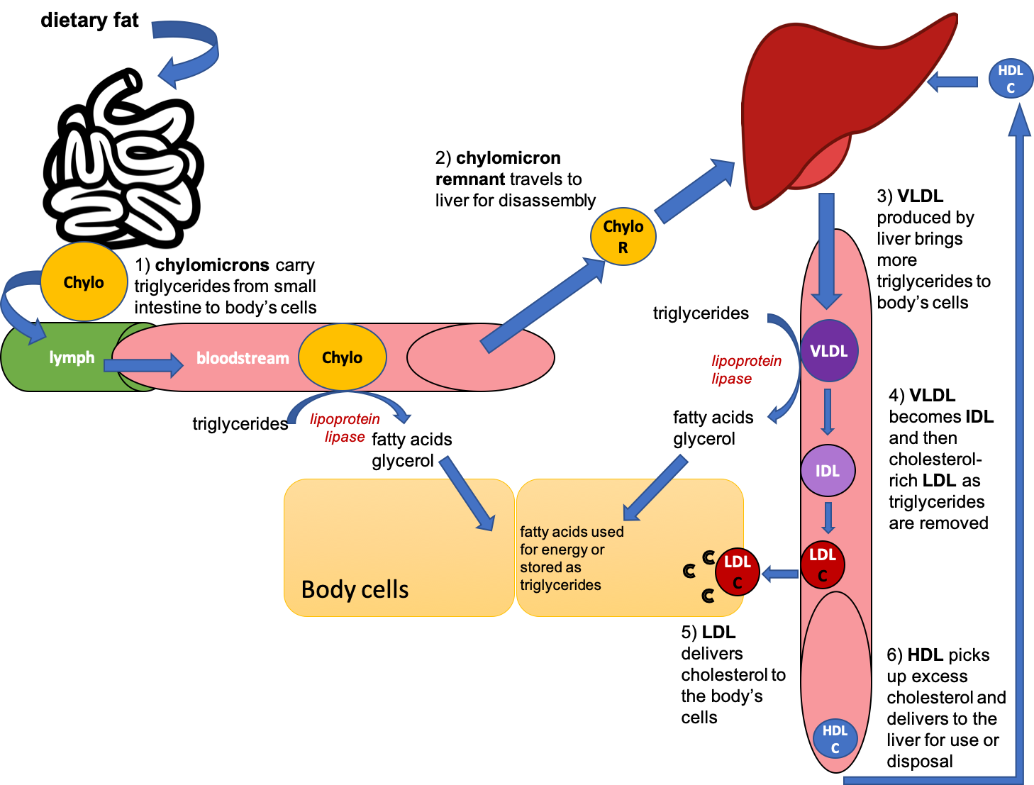 This cartoon diagram shows dietary fat entering the small intestine, being packaged in chylomicrons, and then being carried into the lymph and then bloodstream. Chylomicrons deliver triglycerides to the body's cells, and then chylomicron remnants travel to the liver. The liver produces VLDL, which also delivers triglycerides to the body's cells, and as triglycerides are removed, become IDL and LDL. HDL picks up excess cholesterol and returns it to the liver.