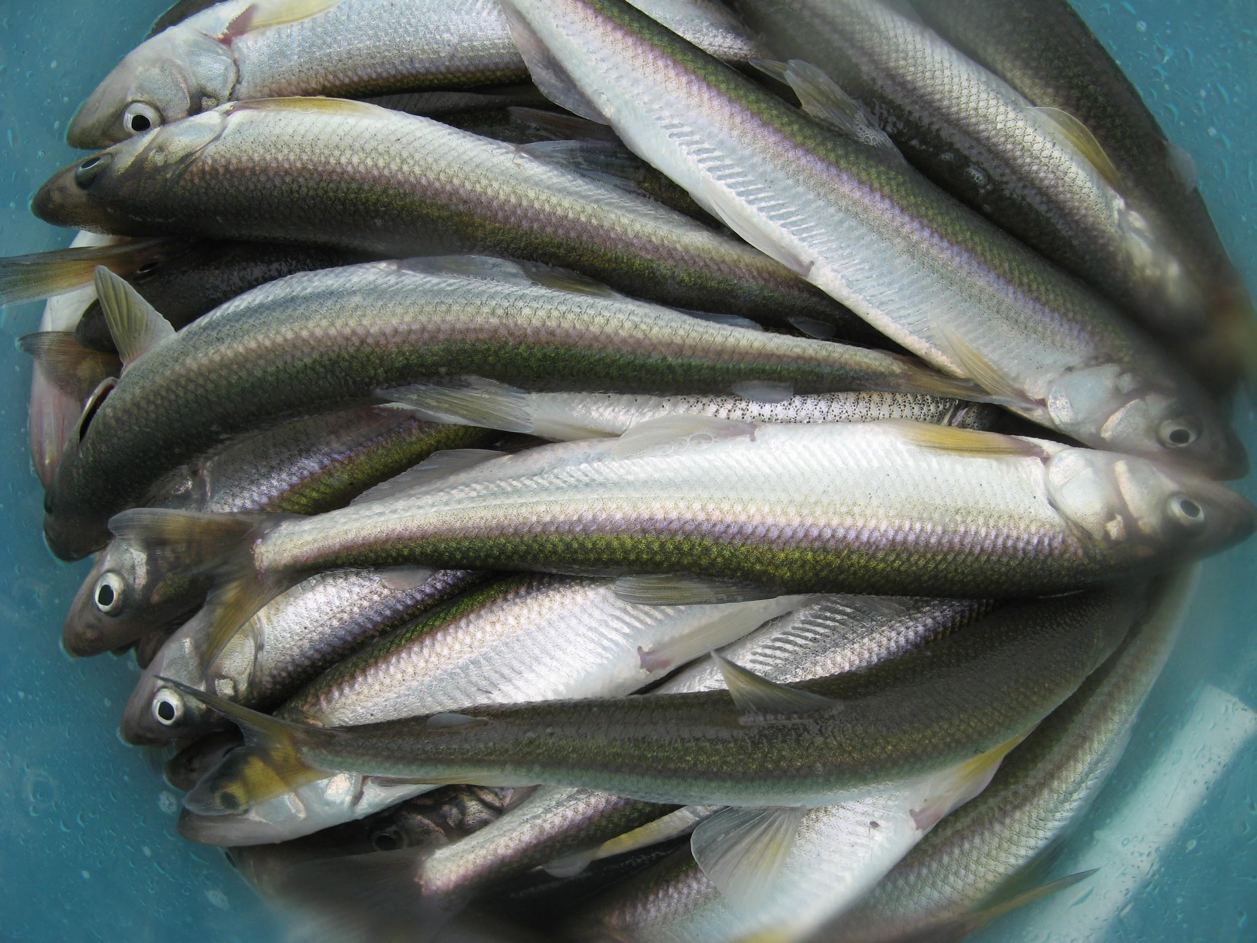 A photo of approximately a dozen eulachon smelt in a bucket. Eulachon smelt are small, silvery-blue fish.