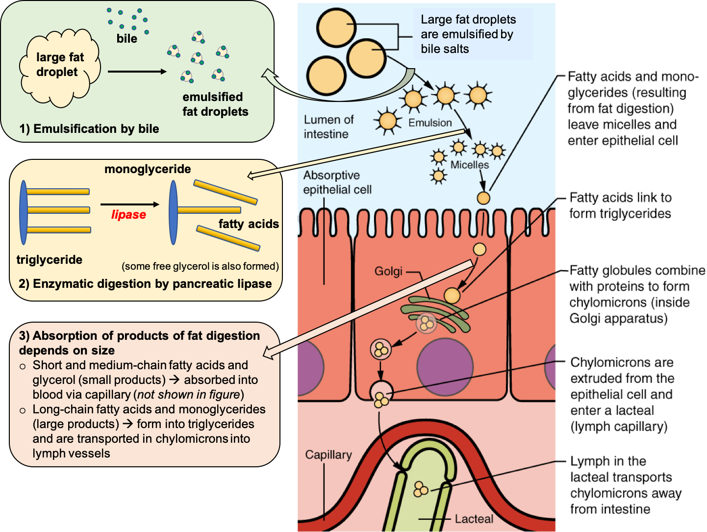 A cartoon diagram summarizes the steps of emulsification, enzymatic digestion, and absorption of lipids in the small intestine. The diagram shows large fat droplets being emulsified to smaller droplets, then being incorporated into micelles in order to bring them to the edge of the enterocytes. Then, fatty acids are absorbed into the enterocytes and incorporated into chylomicrons in the golgi of the cell, finally being absorbed into the lacteal to enter the lymph.