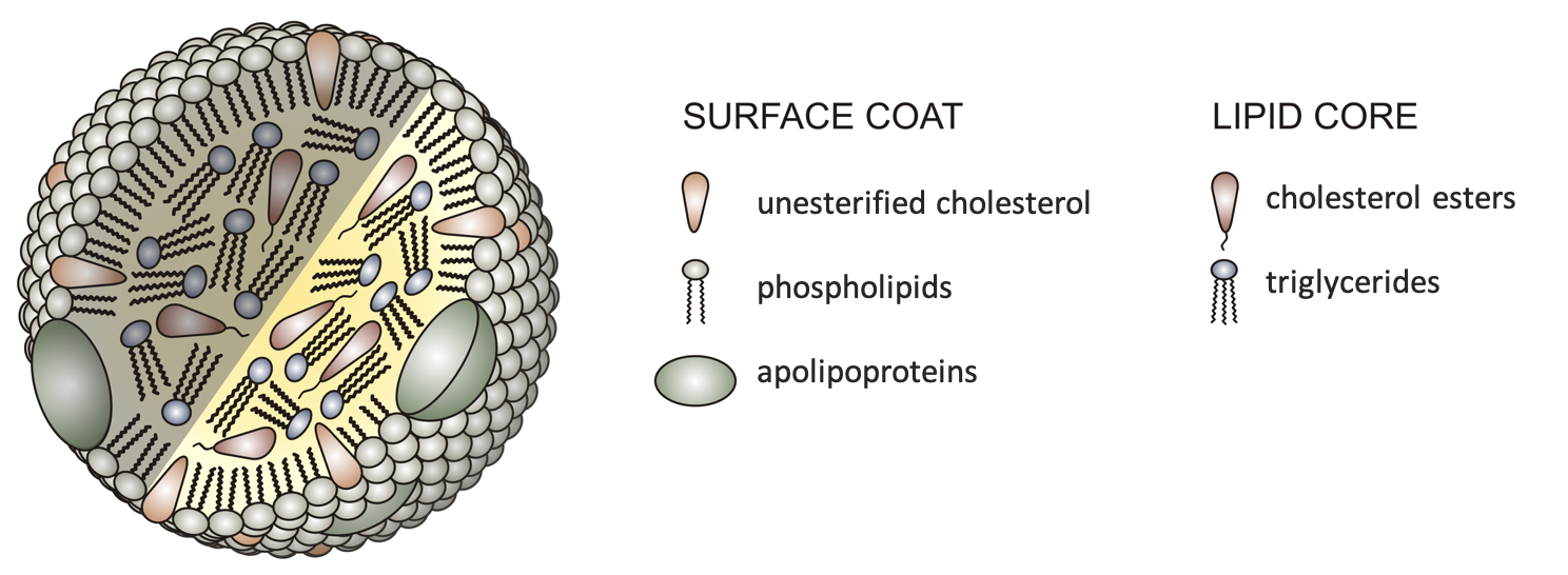 A cartoon diagram shows the basic structure of all lipoproteins, with triglycerides and cholesterol esters in the lipid core, and phospholipids, apolipoproteins, and unesterified cholesterol making up the surface coat.