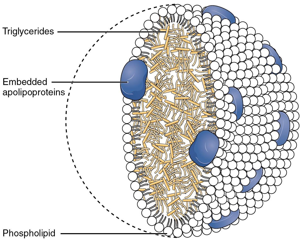 Cartoon diagram showing the structure of a chylomicron. The interior is stuffed with triglycerides, shown in light yellow. The exterior is made up of phospholipids, shown in white and oriented with their fatty tails towards the inside of the chylomicron, and dotted with embedded apolipoproteins, shown in blue.