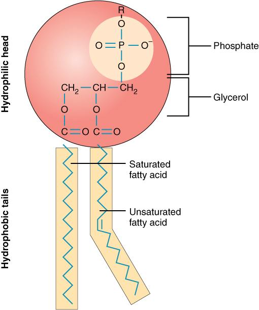 "A drawing of a phospholipid molecule consisting of a polar phosphate ""head,"" which is hydrophilic, and a non-polar lipid ""tail,"" which is hydrophobic."