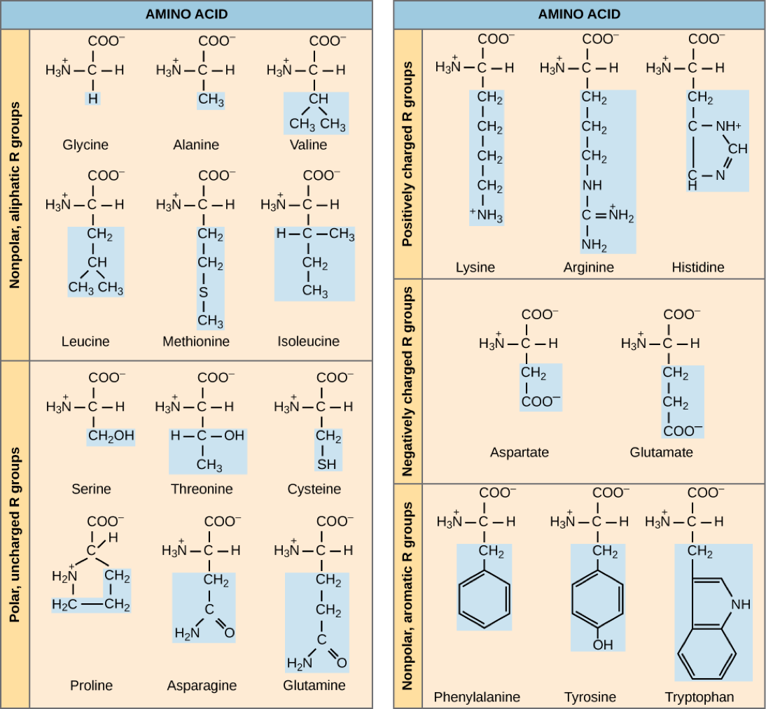 This image categorizes amino acids based on their side chain. Nonpolar, aliphatic side chains (glycine, alanine, leucine, methionine, valine, and isoleucine), polar side chains (serine, threonine, cysteine, proline, asparagine, and glutamine), positively charged side chains (lysine, arginine, and histidine), negatively charged side chains (aspartate, and glutamate), and nonpolar, aromatic side chains (phenylalanine, tyrosine, and tryptophan).