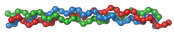 Three amino acid strands (blue, green and red) come to form the triple helix structure of collagen.