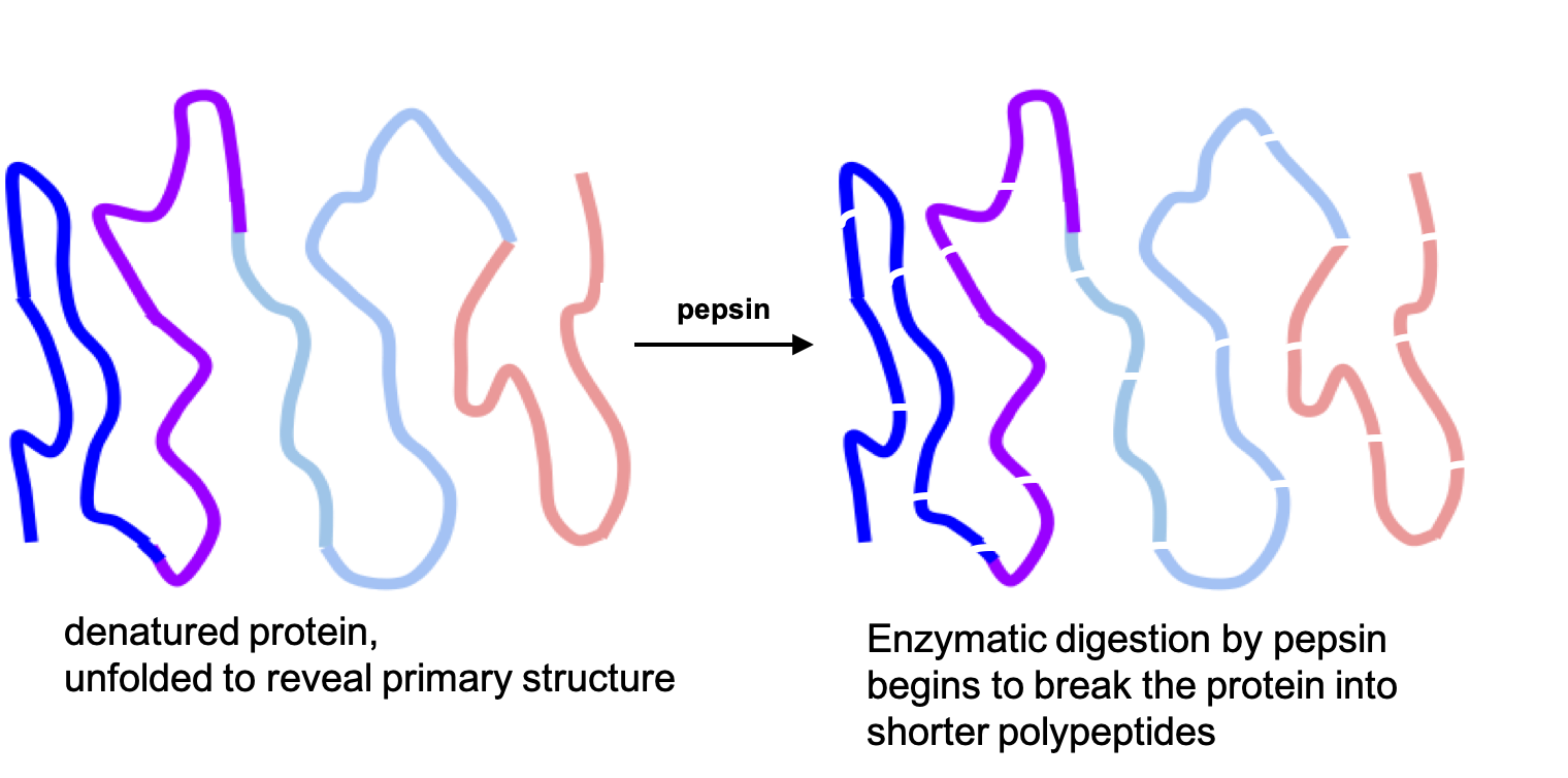 After denaturation by hydrochloric acid, the line is smoothed out, showing it is unfolded. Then with the action of digestive enzymes like pepsin, the line breaks into smaller strands representing shorter polypeptides.