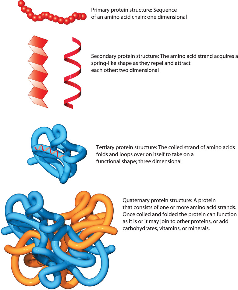 Primary protein structure (one dimensional): sequence of an amino acid chain is illustrated with a string of red circles, which looks similar to a pearl necklace. Secondary protein structure (two dimensional): the amino acid chain acquires a spring-like shape which is illustrated by a red piece of ribbon curling in a coil. Tertiary protein structure (three dimensional): the coiled strand of amino acids folds and loops over on itself to take on a functional shape which is illustrated by a blue tube folding upon itself. Quaternary protein structure: a protein that consists of one or more amino acid strands which is illustrated by 4 different amino acid strands (two blue and two yellow) which have come together to form a protein.