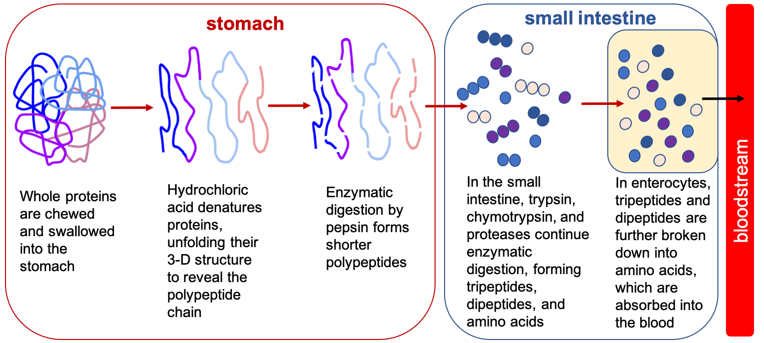 In a simplified cartoon, a protein is represented by a thick line crossing over itself, like a jumble of yarn, representing a protein folded into its tertiary/quaternary structure. After denaturation by hydrochloric acid, the line is smoothed out, showing it is unfolded. Then with the action of digestive enzymes like pepsin, the line breaks into smaller strands representing shorter polypeptides. In the small intestine trypsin, chymotrypsin, and proteases continue enzymatic digestion, forming tripeptides, dipeptides and amino acids which are illustrated by different colors of circles. In enterocytes, tripeptides and dipeptides are further broken down into amino acids (illustrated by single circles) which are absorbed into the blood.
