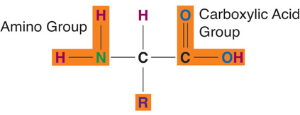 Amino acids contain four elements. The arrangement of elements around the carbon center is the same for all amino acids. Only the side chain (R) differs. Each amino acid consists of a central carbon atom connected to a side chain, a hydrogen, a nitrogen-containing amino group, a carboxylic acid group.
