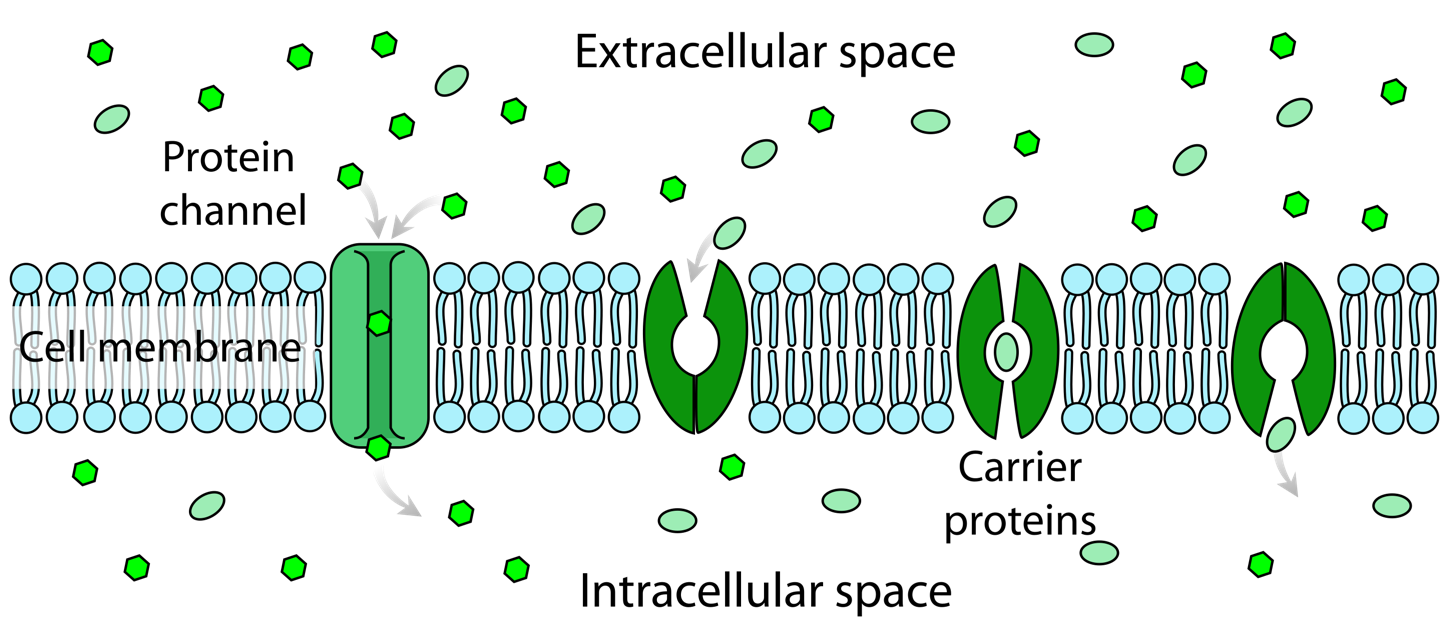A cartoon illustration of the cell membrane and protein channels. Facilitated diffusion involves the use of a protein to facilitate the movement of molecules across the membrane. In some cases, molecules pass through channels within the protein,In other cases, the protein changes shape, allowing molecules to pass through.