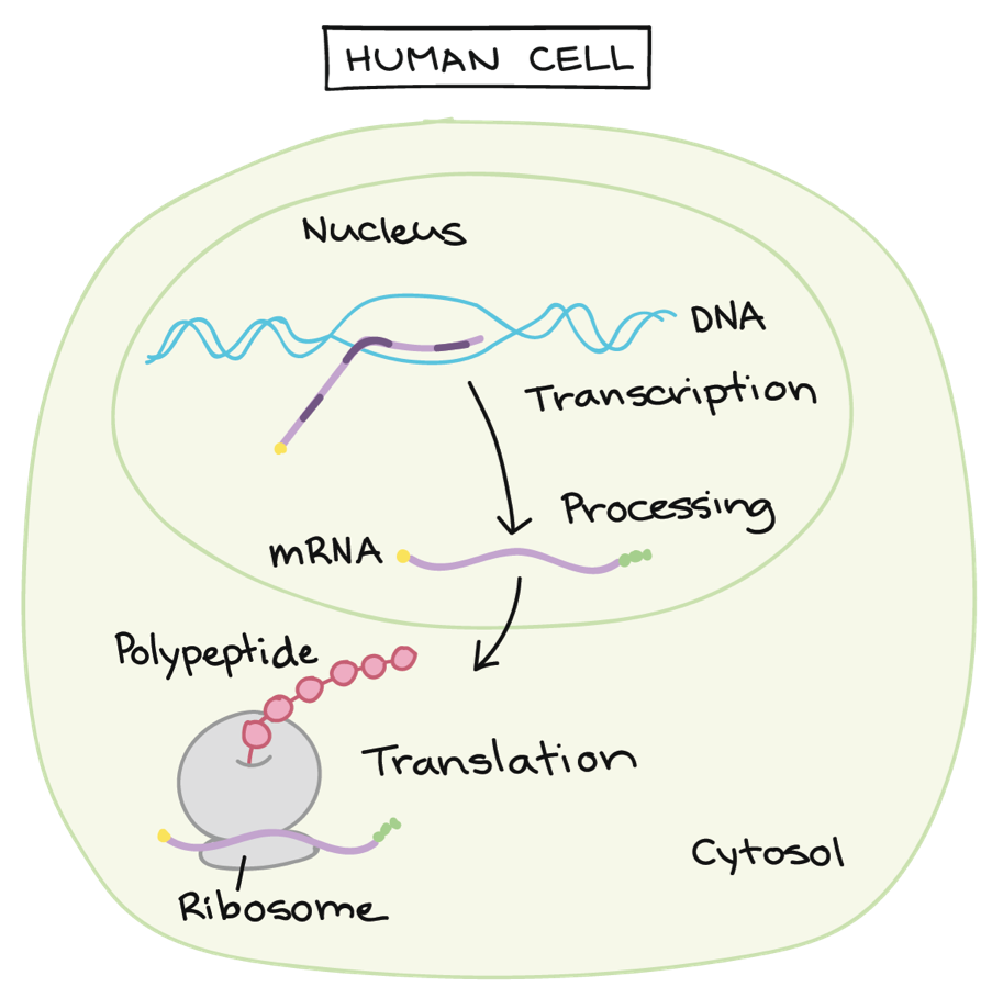Cartoon illustration showing the inside of a human cell. The nucleus is where DNA (illustrated by a blue double helix) is transcribed into mRNA (illustrated by a purple squiggle line). The mRNA then communicates with the ribosome (a purple circle) for translation to occur for the polypeptide (a string of pink beads) to be made. This happens in the cytosol.