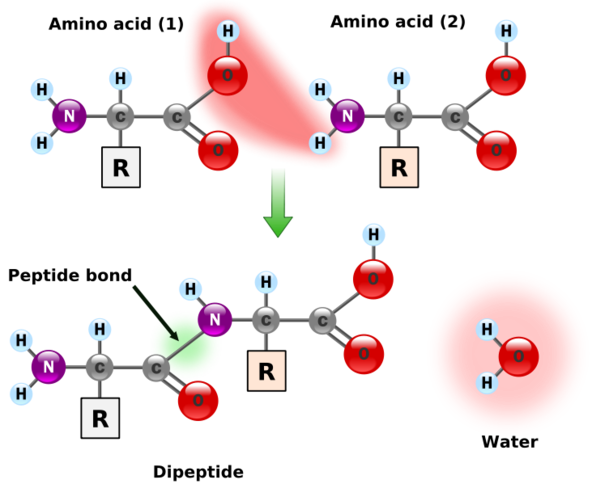 shows two amino acids coming together to form a peptide bond. the nitrogen in the amine group of an amino acid bonds to the carbon in the carboxylic group of another amino acid and water is removed in the process. (OH from carboxylic group, and H from amine group)