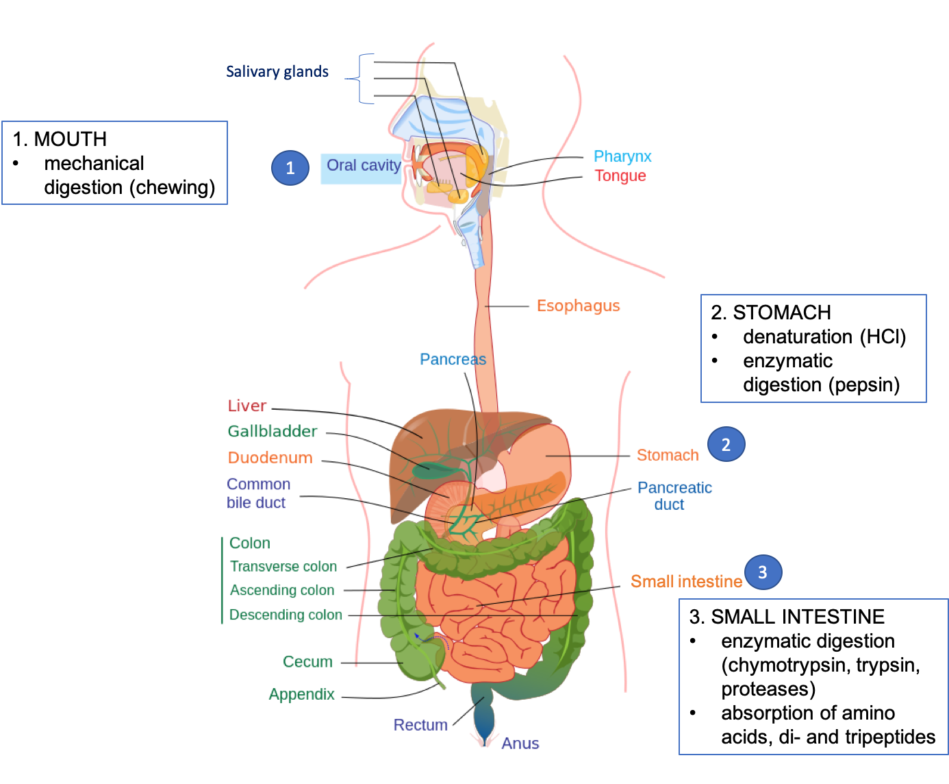 The figure shows a drawing of the digestive system, with organs labeled. Major sites of digestion of protein are highlighted, including mouth (mechanical digestion, chewing), stomach (denaturation by HCl and enzymatic digestion by pepsin), and small intestine (enzymatic digestion by chymotrypsin, trypsin, and proteases, and absorption of amino acids and di and tripeptides).