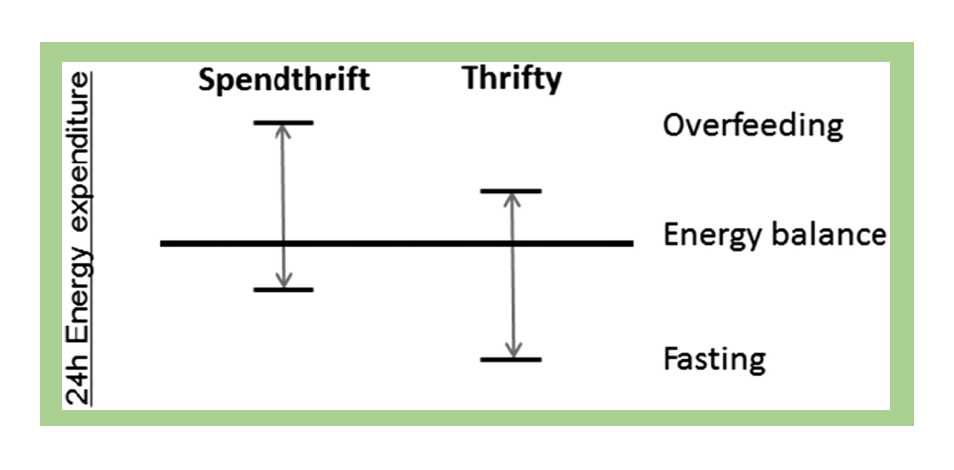 A graph showing how 24-hour energy expenditure differs between people with a spendthrift metabolism and a thrifty metabolism. In situations of both overeating and fasting, people with a spendthrift metabolism burn more calories throughout the day than people with a thrifty metabolism.
