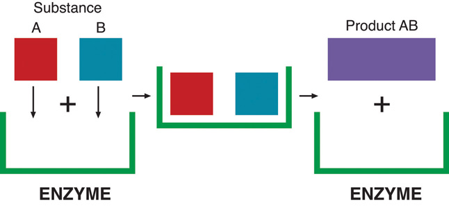 The enzyme is represented by a green half rectangle. The individual squares A and B are able to fit within this enzyme. With the help of the enzyme, the substances A and B become a new product AB which is a rectangle.