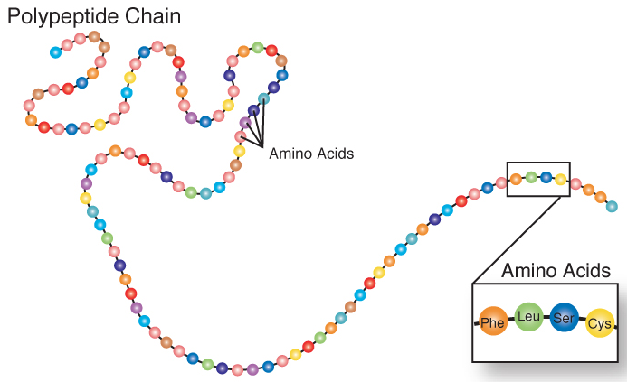 A long colorful polypeptide strand that looks like a string of beads. Each bead or circle is representing an amino acid. A polypeptide chain is many amino acids bonded together.