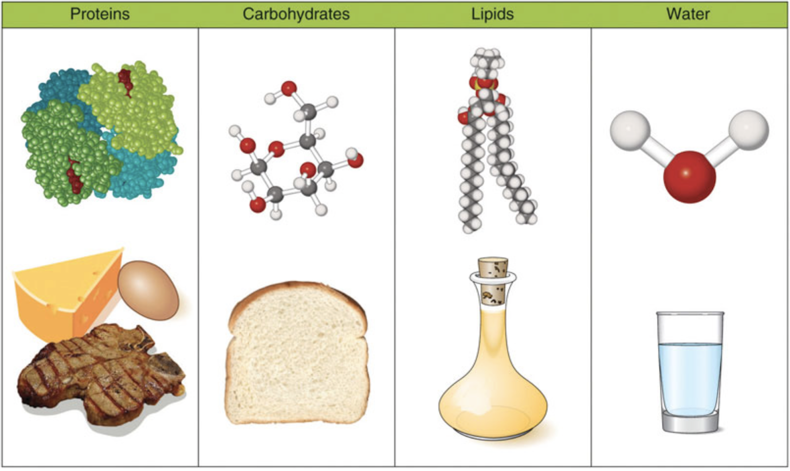 This image shows the chemical structure of each macronutrient along with typical food sources. Cheese, eggs and meat are shown for protein, bread for carbohydrates, oil for lipids and a glass of water for water.