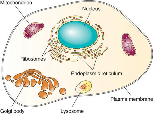 This picture shows a single cell with all of its components. The contents of the cell are all labeled. The cell includes a nucleus, mitochondrion, ribosomes, endoplasmic reticulum, golgi body, and lysosome, all held together by a plasma membrane.